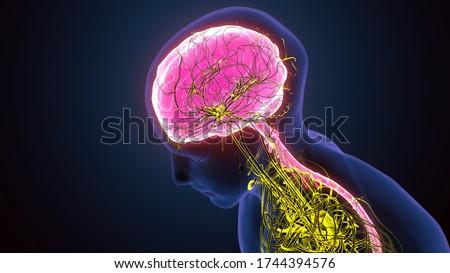 3d illustration of Human brain nervous system medical illustration diagram with parasympathetic and sympathetic nerves Сток-фото ©