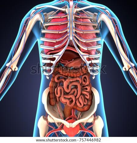 3d illustration of human digestive system