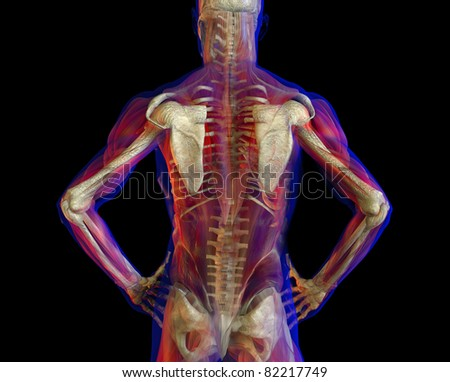 3D illustration of human male anatomy and skeleton. Standing pose. Back view.