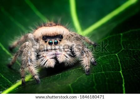 3D illustration of jumping spider, Phidippus Regius Female, exotic arachnid photo series ストックフォト ©