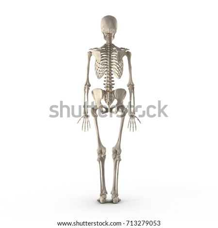 3d Illustration With Female Skeleton Isolated On White Rear View