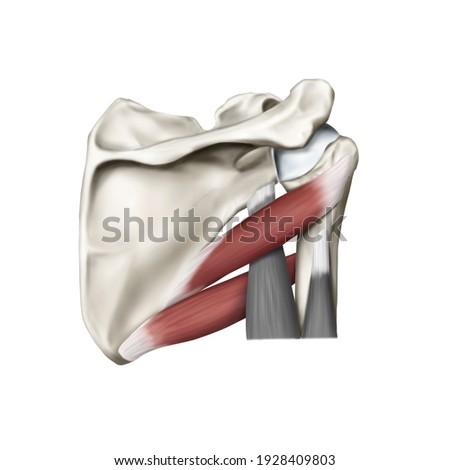 3d Medical illustration for explanation teres major minor muscle Stock fotó ©