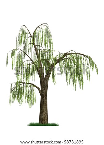 3D model of a weeping willow tree isolated on white background