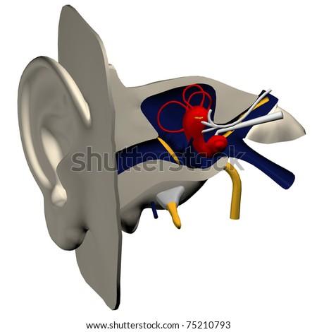 3d model of inner ear
