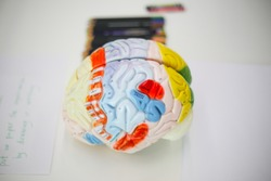 3D model of the human brain for studying and teaching the structure and anatomy of cortex sensory regions the mind