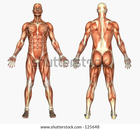 3D render depicting human anatomy - muscles - male