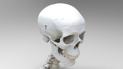 3d render human skull and part of the skeleton for the study of human structure and anatomy