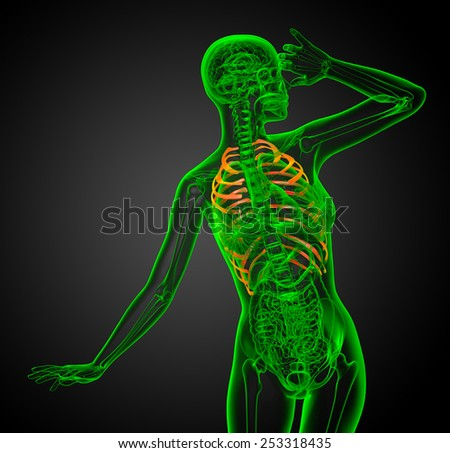 3d render illustration of the rib cage - front view