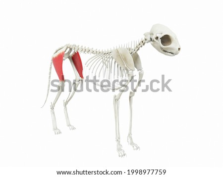 3d rendered illustration of the cats muscle anatomy - tensor fascia latae Zdjęcia stock ©