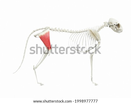 3d rendered illustration of the cats muscle anatomy - tensor fascia latae Foto stock ©