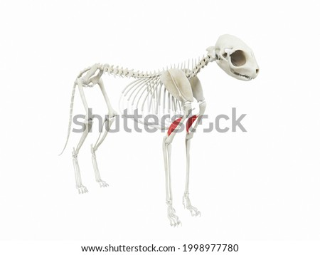 3d rendered illustration of the cats muscle anatomy - tensor fasciae antebrachii Foto stock ©
