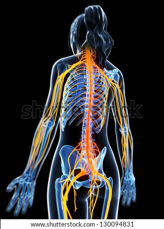 3d rendered illustration of the female nervous system
