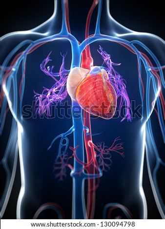 3d rendered illustration of the human heart