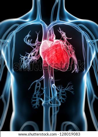 3d rendered illustration of the human vascular system
