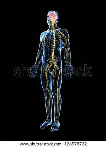 3d rendered illustration of the male nerve system