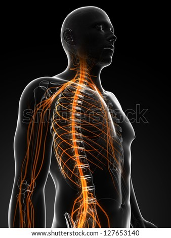 3d rendered illustration of the male nerves