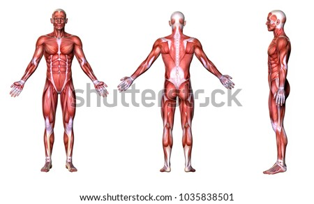 3D Rendering : a standing male body illustration with muscle tissues display