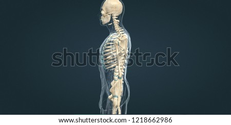 3D rendering.Human anatomy.Human skeleten