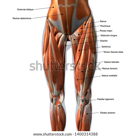 3d rendering labeled medical illustration of Female Front Leg Muscles