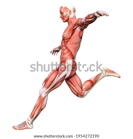 3D rendering of a male figure with muscle maps isolated on white background Сток-фото ©