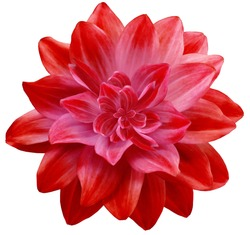 dahlia flower red. Flower isolated on a white background. No shadows with clipping path. Close-up. Nature.