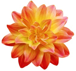 dahlia flower red-yellow. Flower isolated on a white background. No shadows with clipping path. Close-up. Nature.