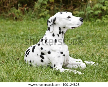Dalmation Dog Lying In The Grass