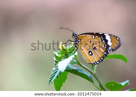 Danaus chrysippus, also known as the plain tiger, African queen, or African monarch, is a medium-sized butterfly widespread in Asia, Australia and Africa. It belongs to the Danainae subfamily. Stock photo ©