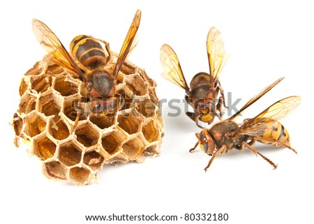 dancings big dangerous hornet and wasp on white background