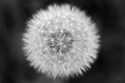 Dandelion flower's delicate structure of seeds with dark background; black and white close-up photo.
