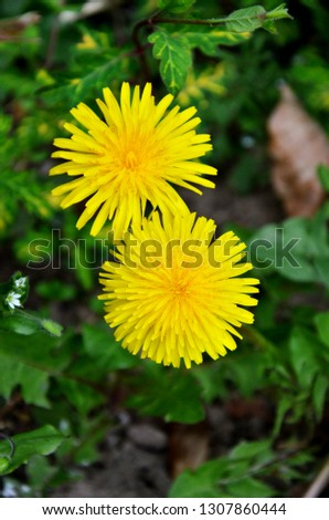 Dandelion in a green meadow. Poland. Village - Picture