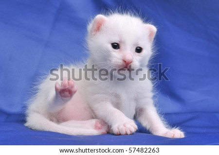 20 day old cute white kitten on blue background.