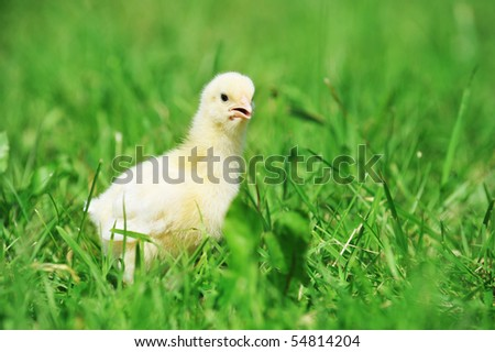 4 days old  chick  exploring green grass