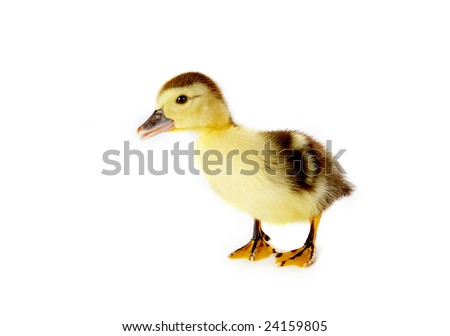 4 days old easter duckling with a curious look on his face