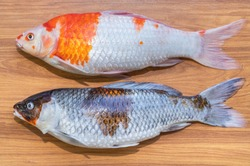 Dead fancy carp fishs or Koi carp fishs diseases infected on wooden background