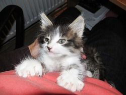 Decent little cat sitting on his hands