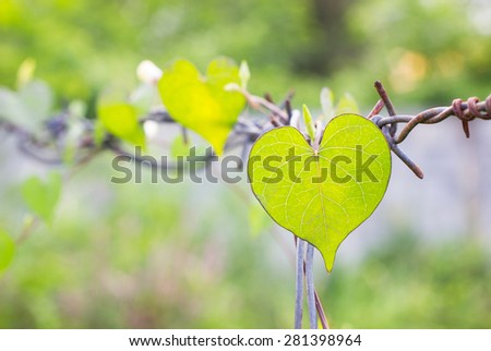 defocused of green leaf heart shape on Rust barbed wire fence #281398964