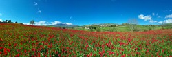 180 degree photo of the Madonie in spring. Blooming tulips of small common Blufi near the Petralie. Spring in Sicily. Red tulips in bloom in front of the Sanctuary of the Madonna dell'Olio.