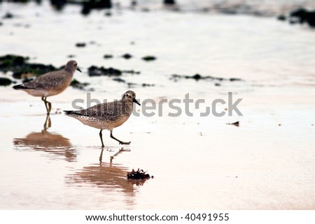 Detailed image of a beautiful shorebird  with reflex in the wet sand during low tide ( north of Portugal )