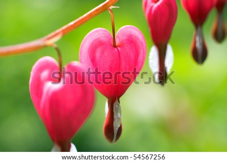 Dicentra - Bleeding Heart Flowers