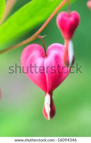 Dicentra - Bleeding Heart Flowers
