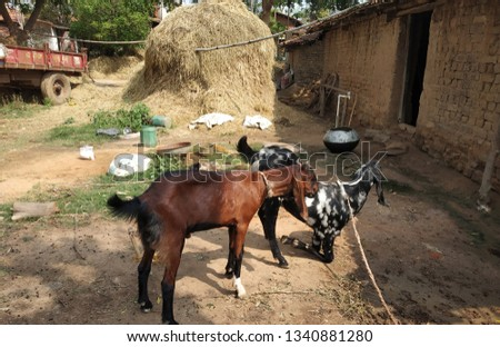 2 dinstinct breed of goat #1340881280