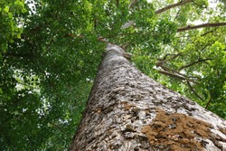 Dipterocapus tree, twin big tree in deep forest , Thailand, Looking up from under with sun light a little bit,environment, ecology tropical forest background. botany landscape ,