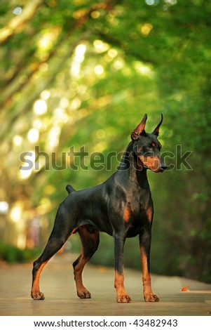 Doberman look at me