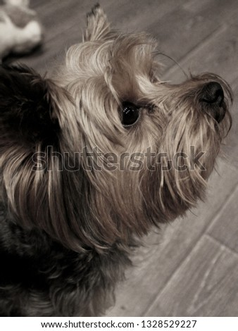 Dog breed Yorkshire Terrier. Photo terrier puppy black and white color.  Yorkie puppy photo side view.