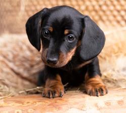 Dog dachshund puppy black-tan colors, dog portrait