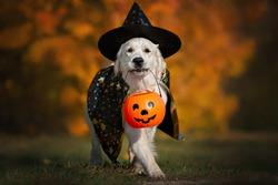 dog in halloween costume walking  outdoors