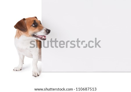 dog is looking out from behind a poster. Jack Russell terrier with white empty poster. Copy paste space - stock photo