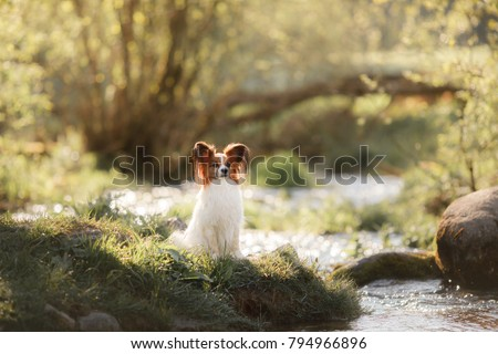 Dog papillon in the park on the river. Pet on the nature in the morning #794966896