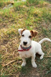 Dog puppy outdoor  on field jack russel terrier with red collar sunny nature grass